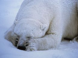 polar-bear-sleeping_666_990x742
